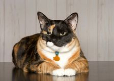 Portrait of a calico cat wearing a collar laying on wood floor. Calico cat laying on a turqoise blanket looking towards viewer. Calico cats are domestic cats stock images