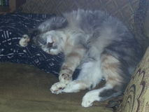 Calico Cat Laying Upside Down stock foto's