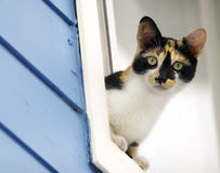 Calico Cat Leaning out of Window. A young calico cat leaning out of blue clap-board sided house window stock photos