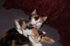 Calico cat licking her kitten stock images