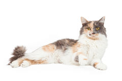 Calico Cat Lifting Paw Up Stock Foto