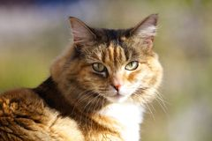 Calico Cat. Lily the domestic medium hair housecoat, with yellow eyes, orange, black and white fur Royalty Free Stock Photography