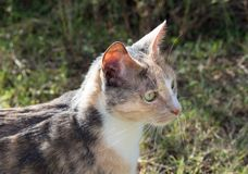 Calico cat looking ahead Royalty Free Stock Photos