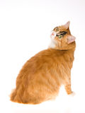 Calico cat looking back at camera Royalty Free Stock Photos