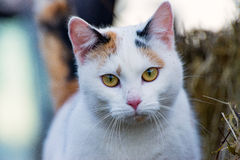 The calico cat stock image