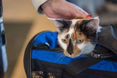 Calico cat looking out of cat carrier at vet. Closeup of calico cat head peeking out of cat carrier at animal hospital stock images