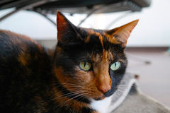 Calico cat looking relaxed. Stock Images