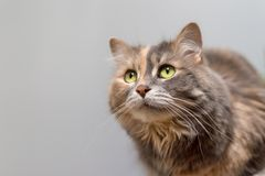 Calico cat looking up Royalty Free Stock Image