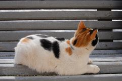 Calico cat lying on a bench and looking away. royalty free stock images