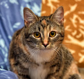 Calico cat. Lying on the sofa royalty free stock image