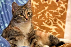 Calico cat. Lying on the sofa stock image