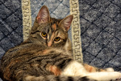 Calico cat. Lying on the sofa royalty free stock photos