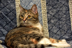 Calico cat. Lying on the sofa stock images