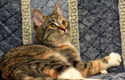 Calico cat. Lying on the sofa royalty free stock images