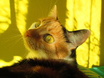 Calico cat. Lying on sofa, shadows royalty free stock images