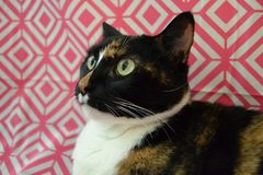 A calico cat makes a silly face. A calico cat makes an unusual face at the camera. There is a geometrical and colorful background royalty free stock image