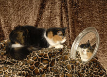 Calico Cat with Mirror. A calico cat lays on animal print material while looking into a mirror at own reflected image of face royalty free stock image
