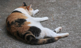 Calico cat nap. Calico cat laying out of the patio taking a nap Royalty Free Stock Image