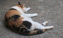 Calico cat nap Royalty Free Stock Image