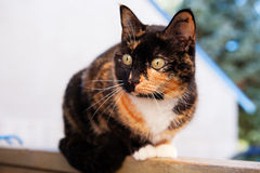Calico Cat Outdoors. A beautiful, Calico cat sitting on a fence. Shallow depth of field stock images