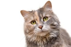 Calico cat over white background Royalty Free Stock Photos