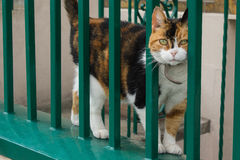 Calico Cat Peeking Through a Bright Green Fence. A close up shot of a beautiful calico cat peeking through the bars of a bright green metal fence stock photo