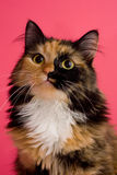 Calico Cat on Pink 1. A calico cat on a pink background looking slightly up and forwards stock photo