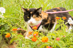 Calico cat in pink harness and leash. In summer garden Royalty Free Stock Photo