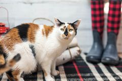 Calico cat on plaid rug. Calico cat at home on plaid rug stock images