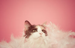 Calico Cat Playing with Feathers on Pink Background. Blue calico cat playing in a white feather boa on pink background stock image
