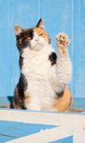 Calico cat playing with her paw in the air. Beautiful calico cat playing with her paw in the air, against a blue barn royalty free stock images