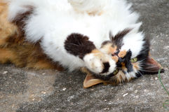 Calico cat playing upside down Stock Photos