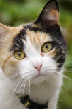 Calico Cat Portrait. A calico cat with beautiful orange eyes and a pink nose stock photo