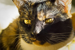 Calico cat portrait Royalty Free Stock Photography