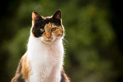 Calico Cat. Portrait of a calico cat royalty free stock image