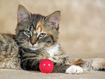 Calico Cat. Portrait of Calico Kitten,  with red ball Stock Images