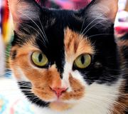 Calico cat. Lovely Gracie, she is a beautiful female Calico cat. She has three distinct colors royalty free stock photo