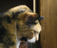 Calico Cat Profile Royalty Free Stock Photography