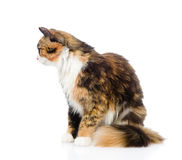 Calico cat in profile. isolated on white background.  royalty free stock photography