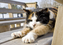 Calico Cat Relaxing in the Sun. A calico cat stretched out in the warm winter sun stock photo