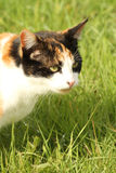 Calico cat sat in grass portrait Stock Images