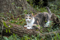 Calico Cat Sharpening Her Claws on Oak Tree. Cute healthy calico cat sharpens her claws outdoors on a fallen log royalty free stock photography