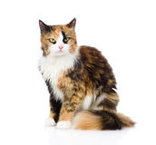 Calico cat sitting and looking at camera. isolated on white Royalty Free Stock Image