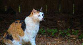 Calico cat sitting Royalty Free Stock Photo
