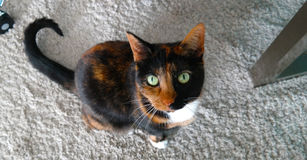 Calico cat sitting on a rug, looking up. Royalty Free Stock Photo
