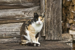 Calico Cat Sitting on Wooden Porch Royalty Free Stock Photo