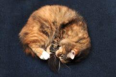 Calico cat sleeping on carpet Stock Photos