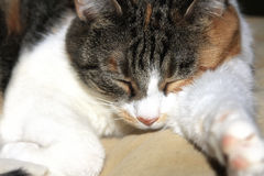 Calico Cat sleeping Stock Photos