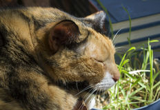 Calico Cat Sleeping Royalty Free Stock Images