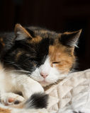 Calico cat sleeping in a sunny spot Royalty Free Stock Photo